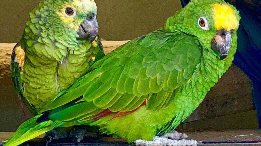 Chico, az éneklő papagáj