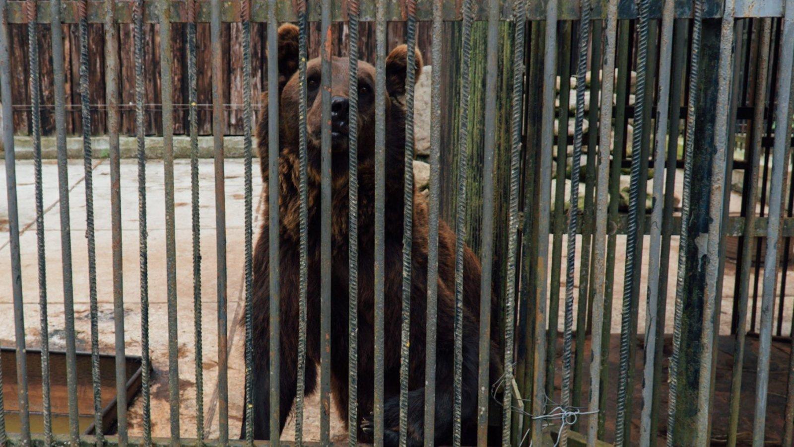 Elnöki medvék mentése Ukrajnában