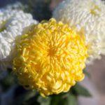 A temetői virágként ismert fajta