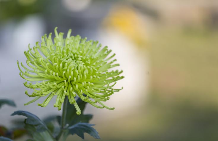 Különleges, zöld virágzattal