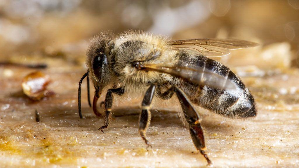 A prosztatagyulladás kezelésére méhek pollenjét használják