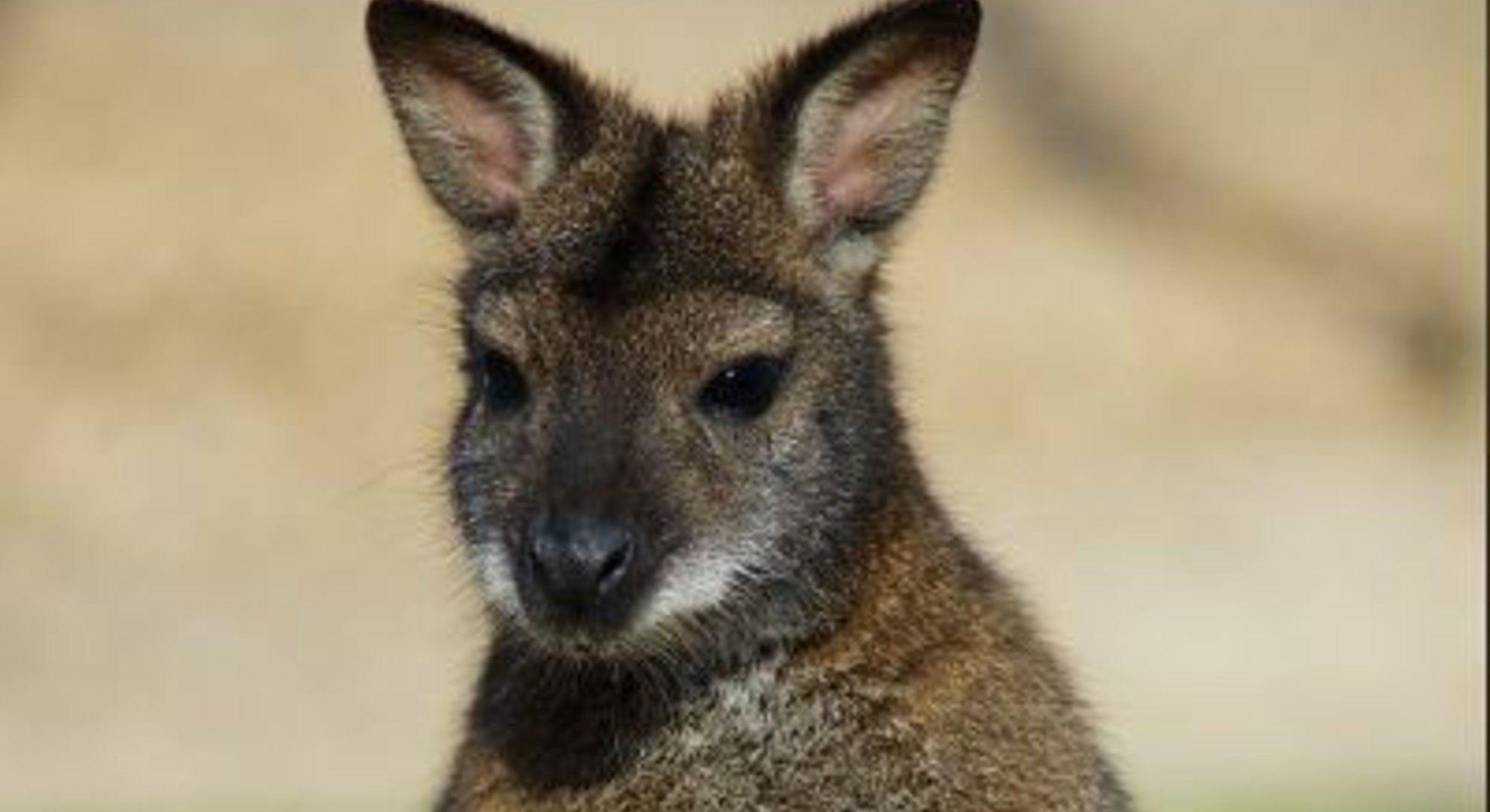 Meglépett két Benett-kenguru a Miskolci Állatkertből.