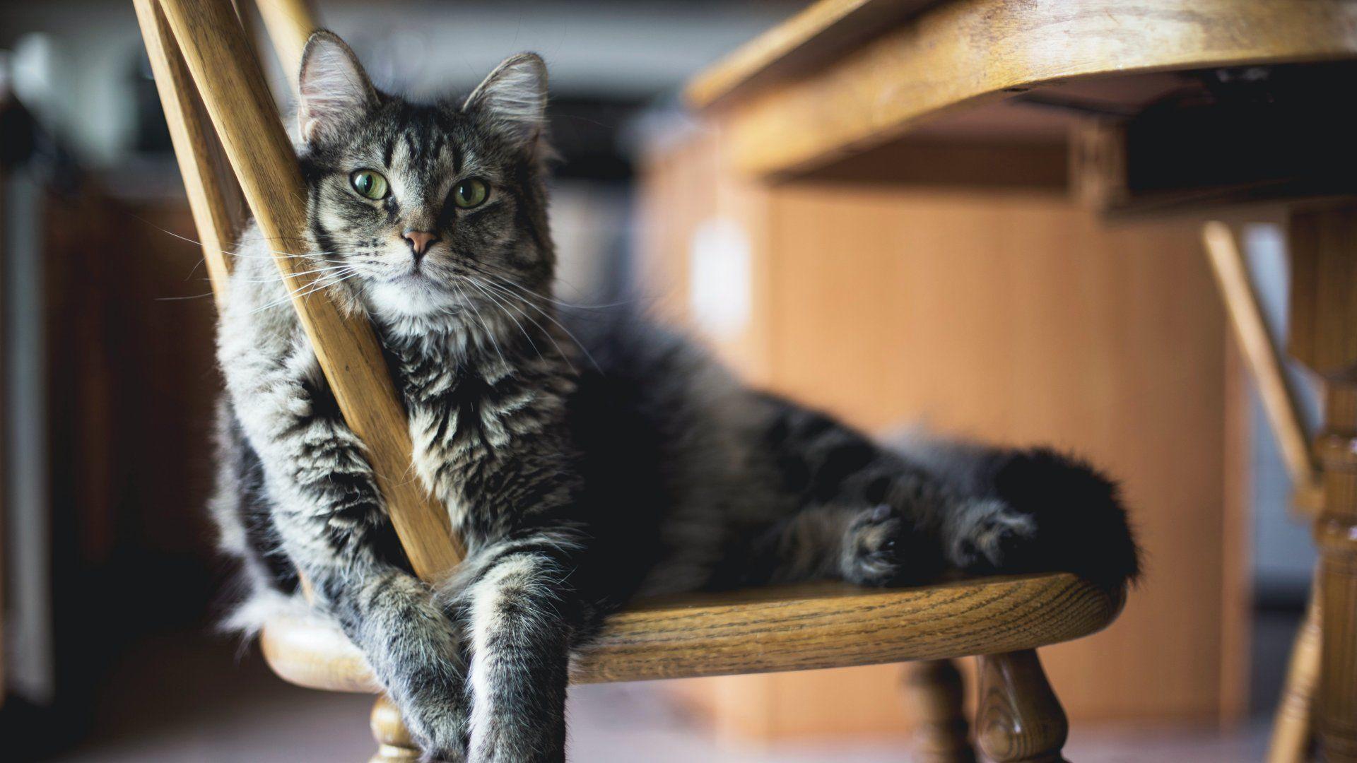 Macska fekszik egy székn