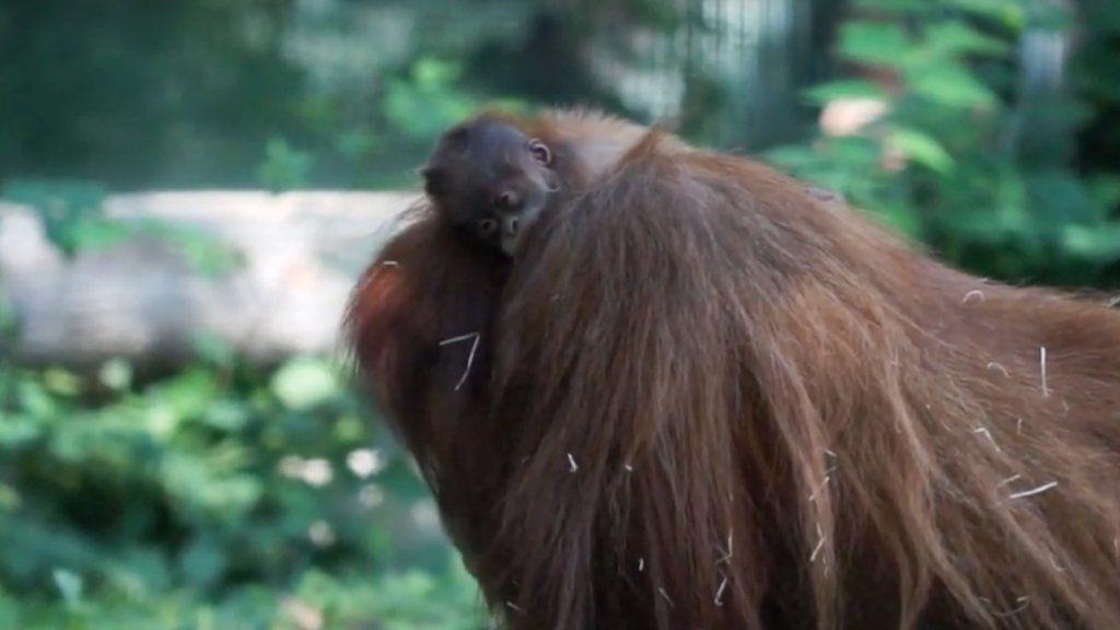 Móric, a budapesti orangutánbébi és az anyukája