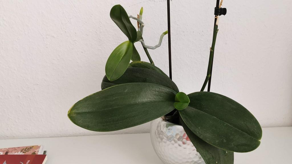 orchidea sarjjal