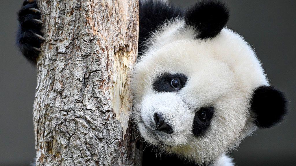Szupercuki videók készültek az újszülött pandáról