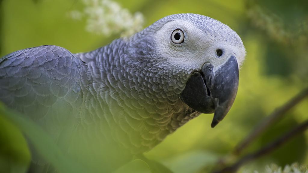 Túl sokat káromkodtak egy vadaspark papagájai