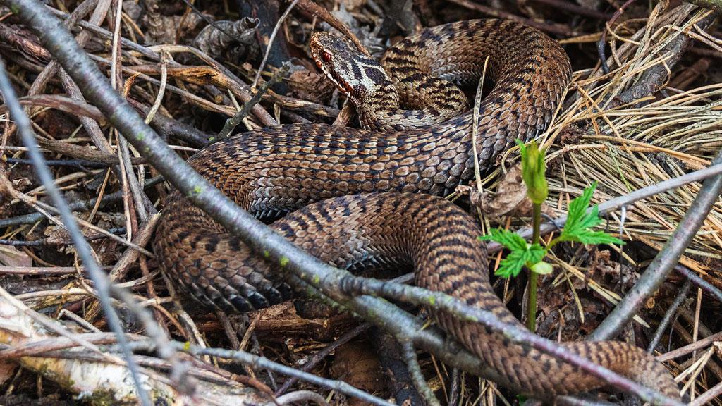 kígyó, sikló