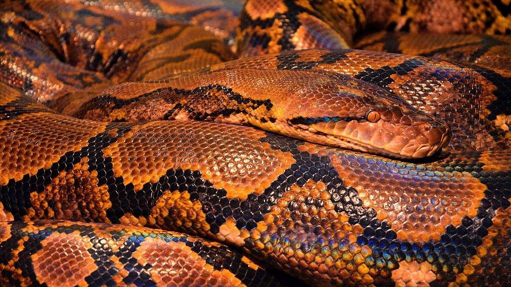 A kígyó véd a koronavírus ellen? (fotó: Pixabay)