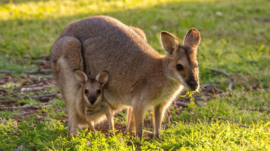 Egy kenguru és egy kengurukölyök. Képünk csak illusztráció (fotó: Pixabay)