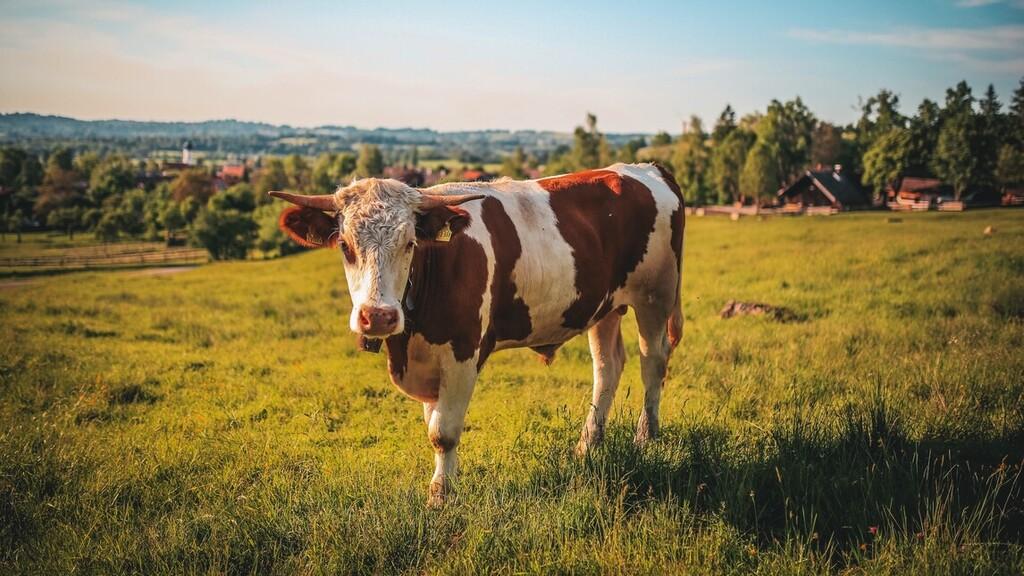 Egy 700 kilós bika öklelte fel Ilonát. Képünk illusztráció (Fotó: Pexels.com)