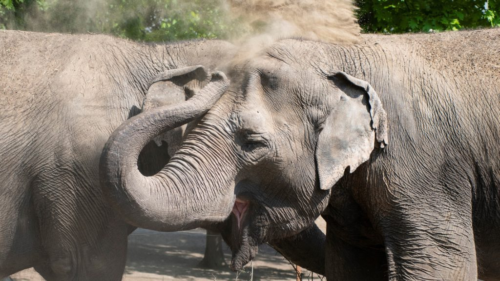 Ázsiai elefántok (Elephas maximus) porral tisztítják bõrüket a Nyíregyházi Állatparkban 2020. május 8-án. Az ezen a napon újra megnyitó állatpark a koronavírus-járvány miatt 46 napig nem fogadott látogatókat. A vendégeknek mind szabad térben, mind zárt térben - az egy háztartásban élõk kivételével - kötelezõ a legalább másfél méter védõtávolság betartása, valamint a zárt helyeken szájmaszk viselete. (Fotó: MTI/Balázs Attila)