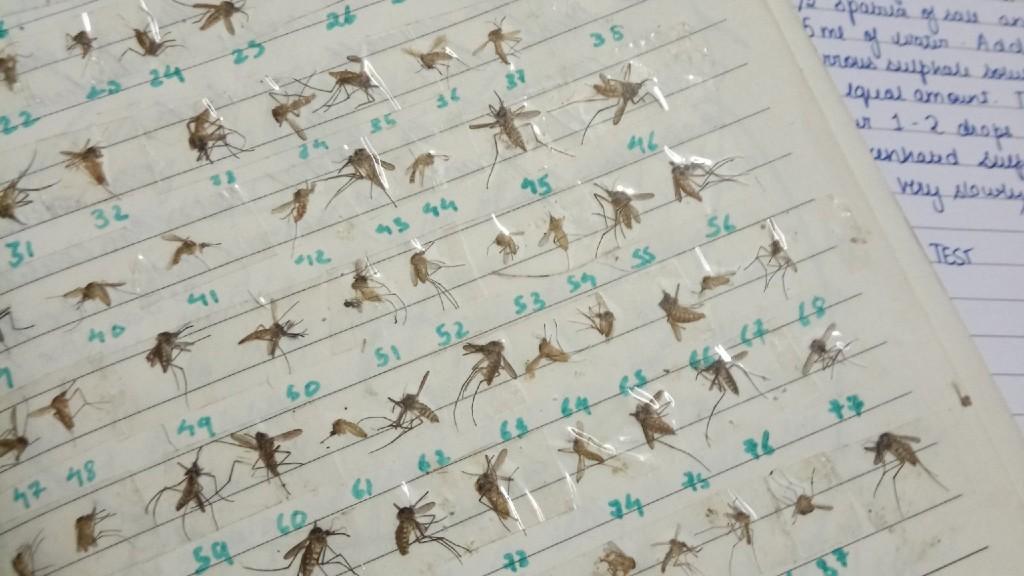 Halott szúnyogok gyűjteménye (fotó: Twitter)