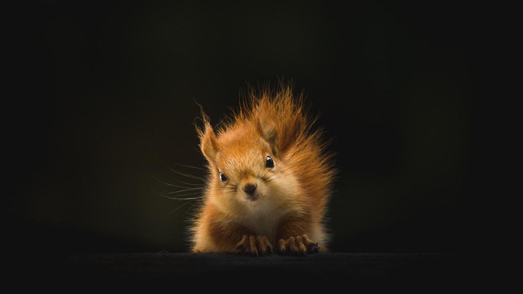 Mekis kajára fanyalodott a mókus