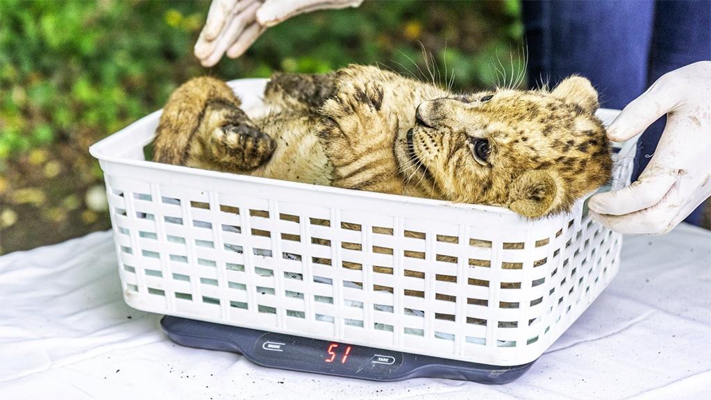 Négy kisoroszlán született a Nyíregyházi Állatparkban
