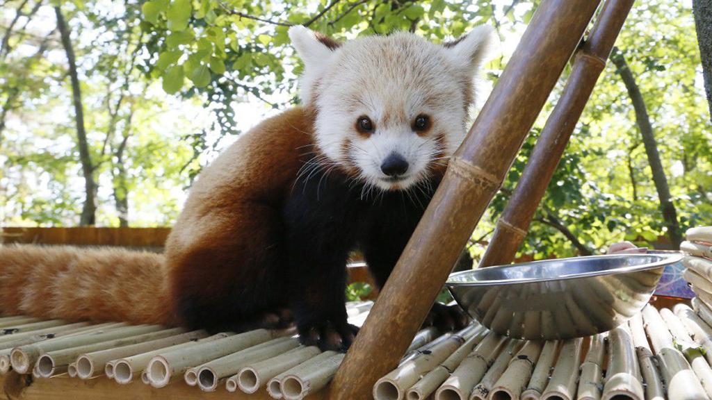 Várja a látogatókat a két új pécsi vörös panda