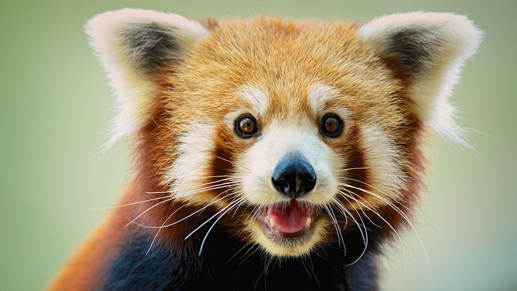Cuki vörös pandák érkeztek a pécsi állatkertbe