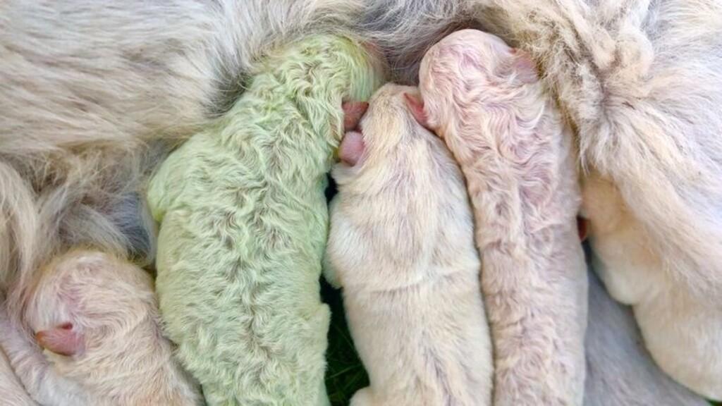Nagyon ritka, zöld színű kutya született Olaszországban