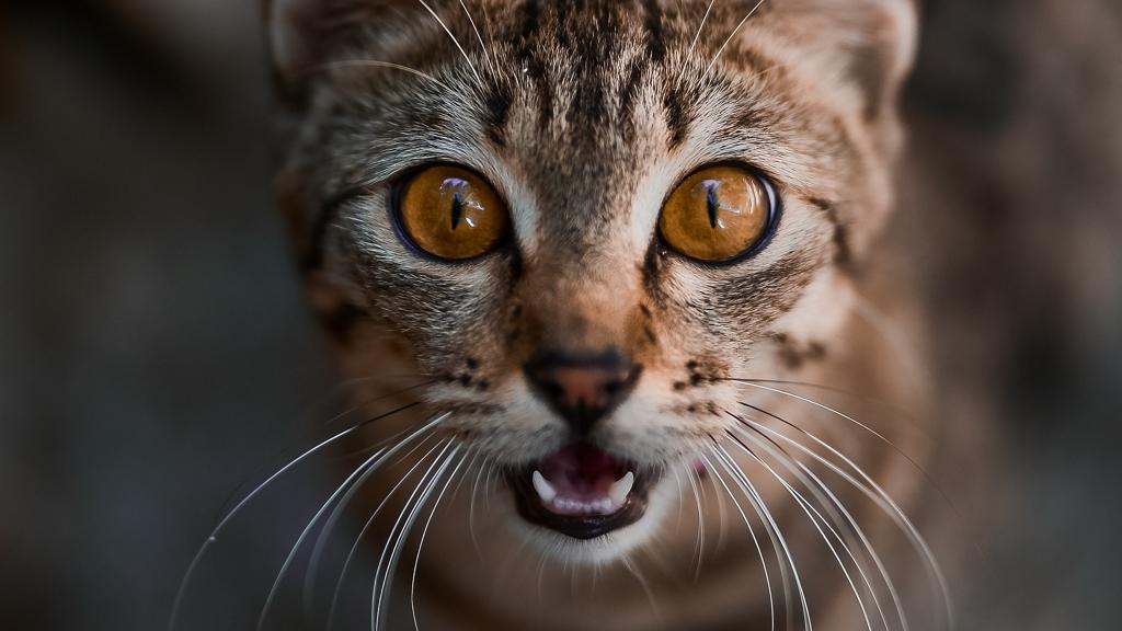Budapesti macskatámadás, vérengzó cica