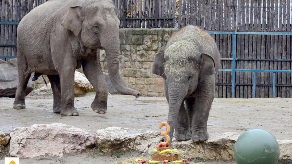 Arun, a budapesti kiselefánt és anyukája, Angele