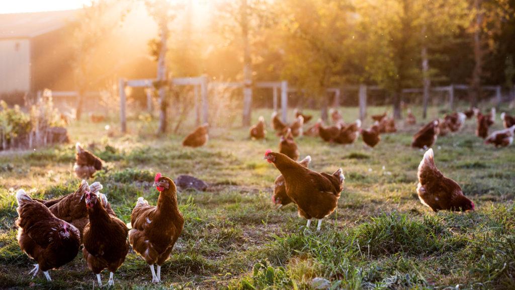 Itt a válasz, ha a tökéletes csirkehúsra vágysz