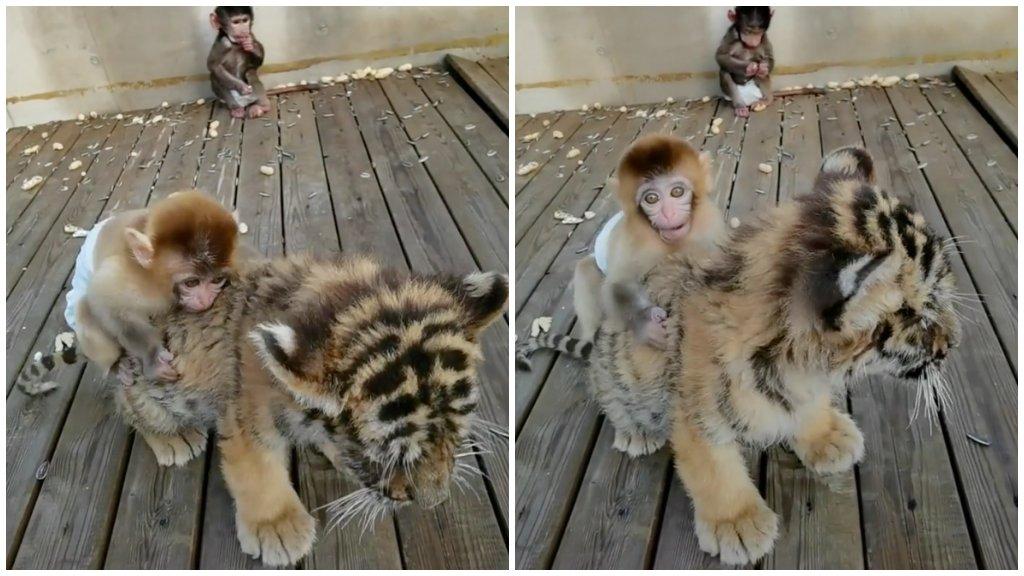 Kismajom és tigriskölyök
