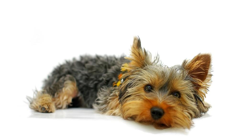 Egy cuki yorkshire terrier (fotó: Pixabay)