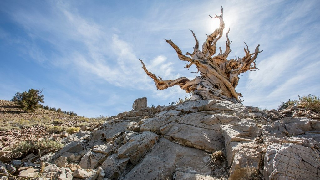 Simatűjű szálkásfenyő (Pinus longaeva)