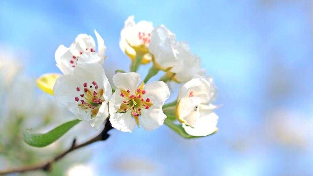 Kivirágoztak az almafák