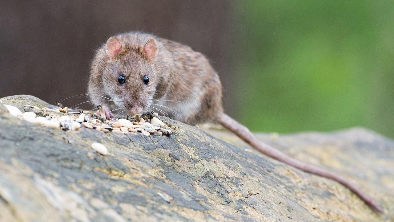 Szotyizik a patkány