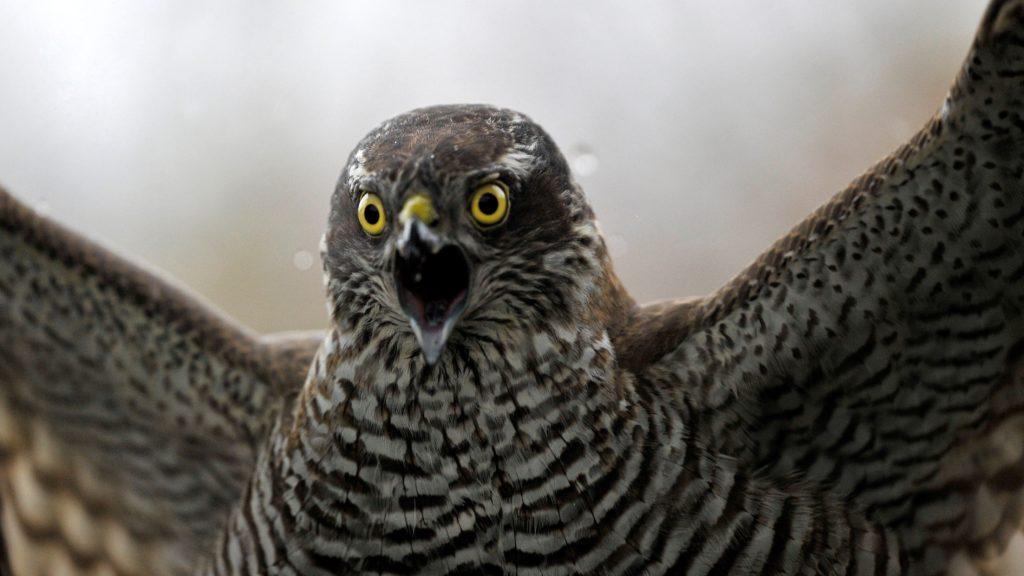Karvaly (Accipiter nisus)