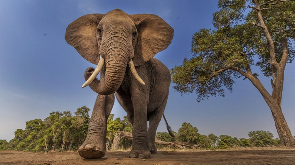 Az afrikai elefánt legnagyobb ellensége az ember