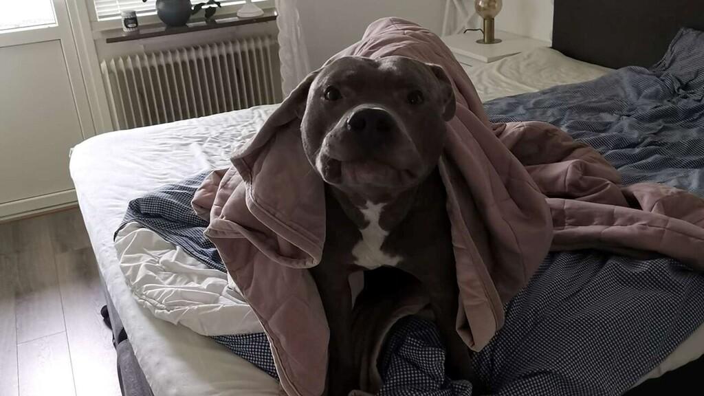 Rettegett a szomszédja pitbulljától, mígnem a kutya megmentette az életét