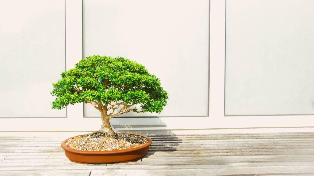 bonszaj fa egyszerű háttér előtt