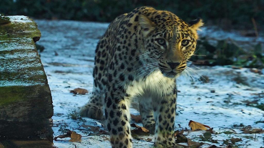 Budapestre érkezett az állatkert új leopárdja