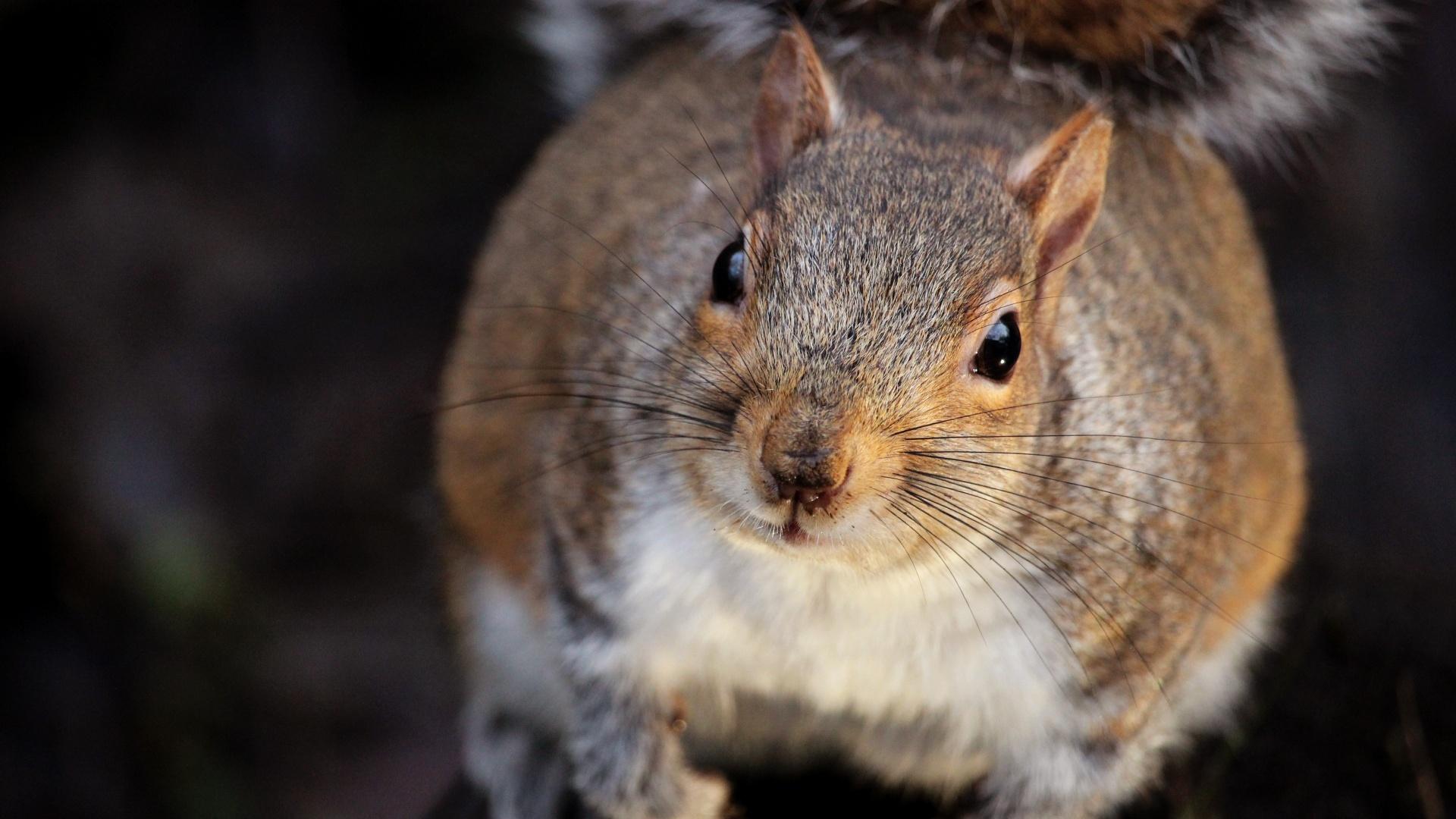 Barna mókus