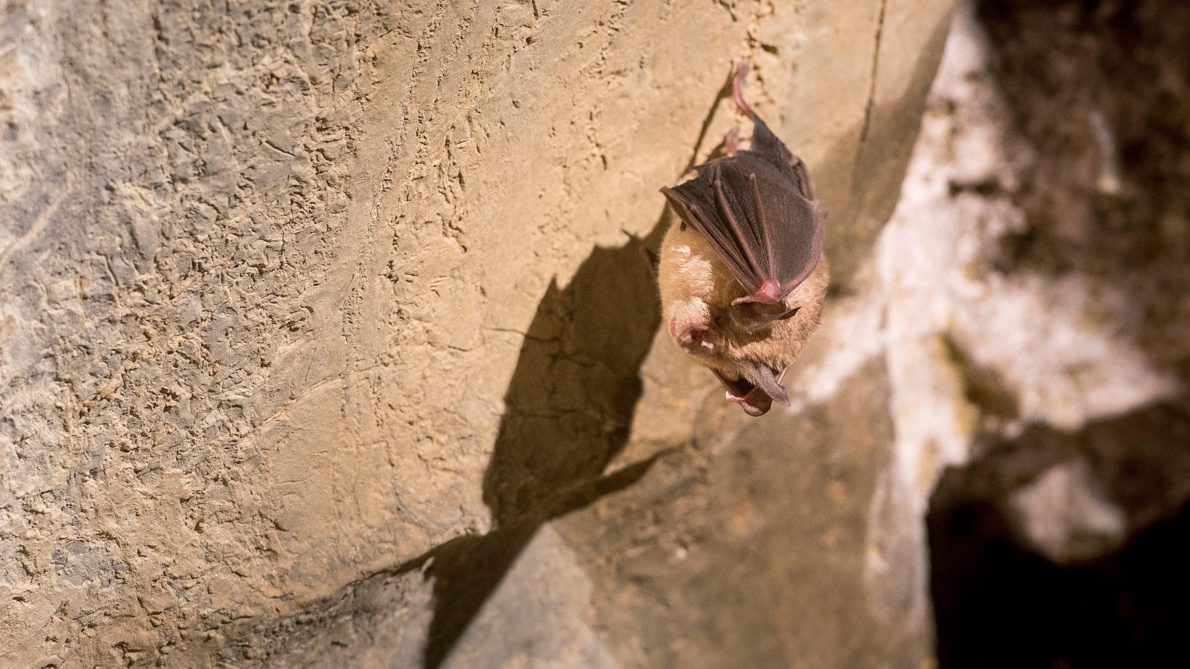 Téli álmot alvó nagy patkósdenevér (Rhinolophus ferrumequinum) az Abaligeti-barlangban 2018. január 16-án.