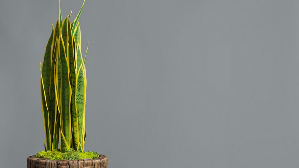 Mérgező szobanövények - anyósnyelv