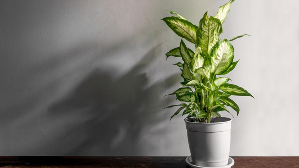 Mérgező szobanövények - buzogányvirág