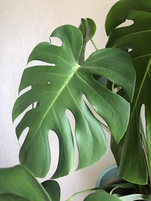Mérgező szobanövények - könnyező pálma