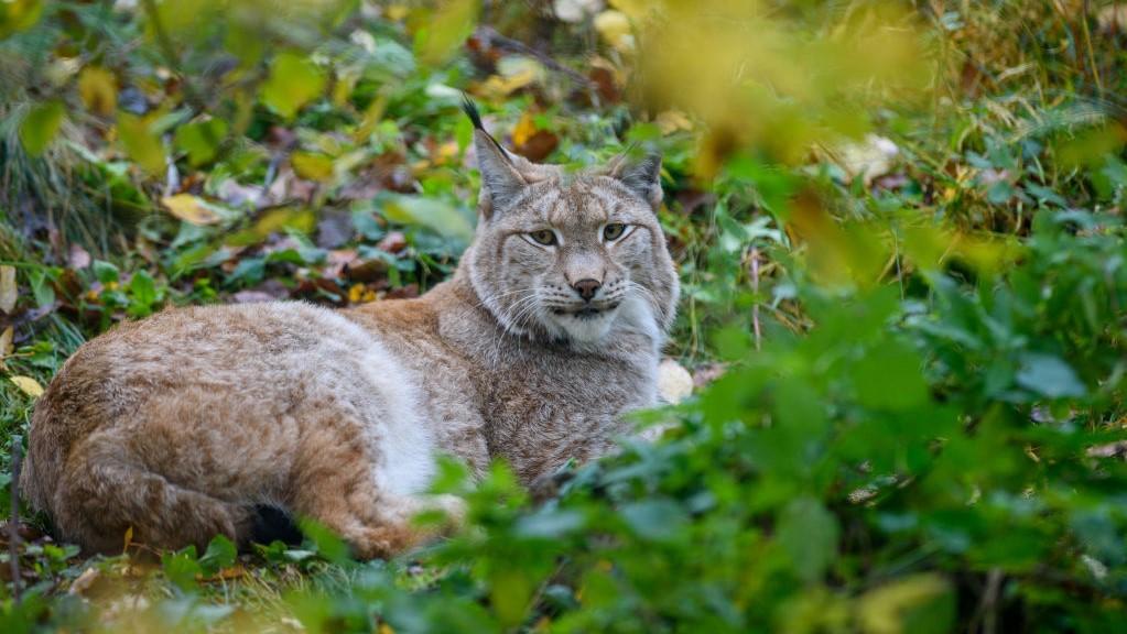 Eurázsiai hiúz (Lynx lynx)