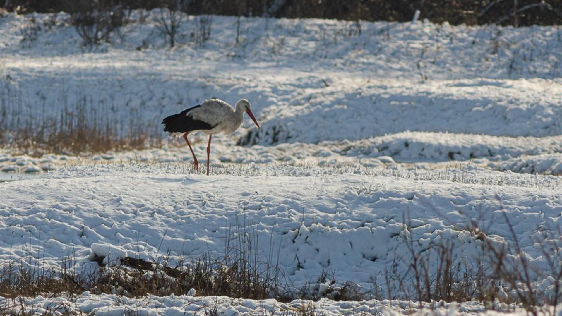Áttelelő gólyát észleltek Szatymaz környékén