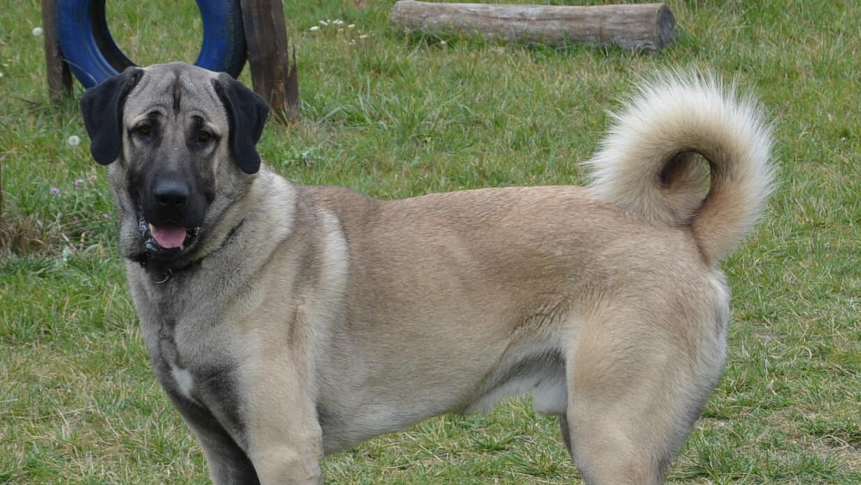 Ates, a török pásztorkutya