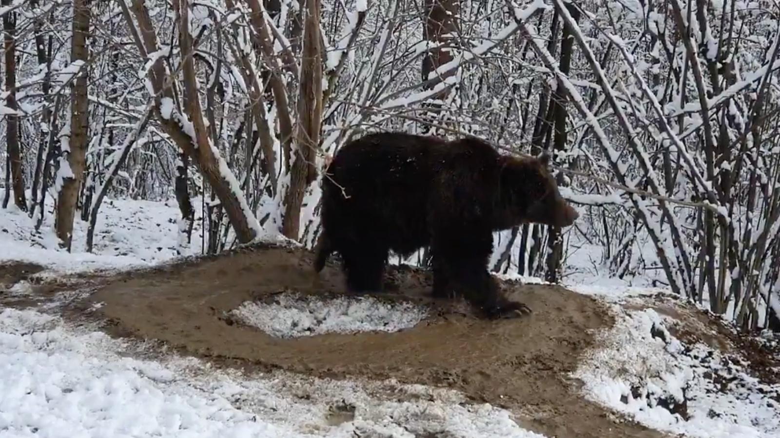 Körbe-körbe járkál a kiszabadított medve