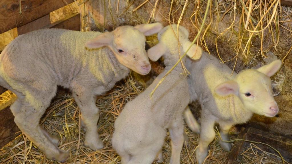 merinói báránybabák