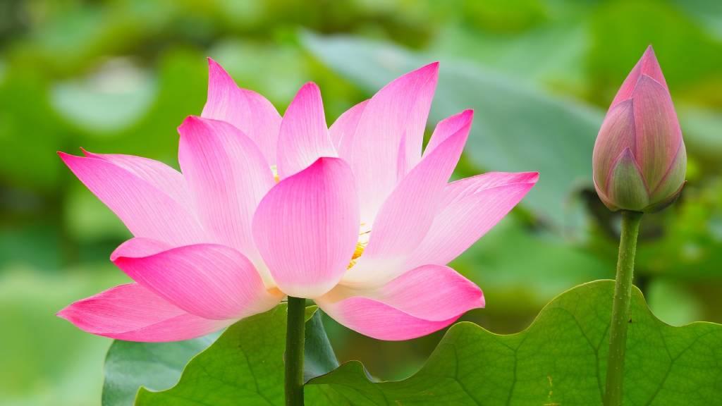 lótusz virág és bimbó