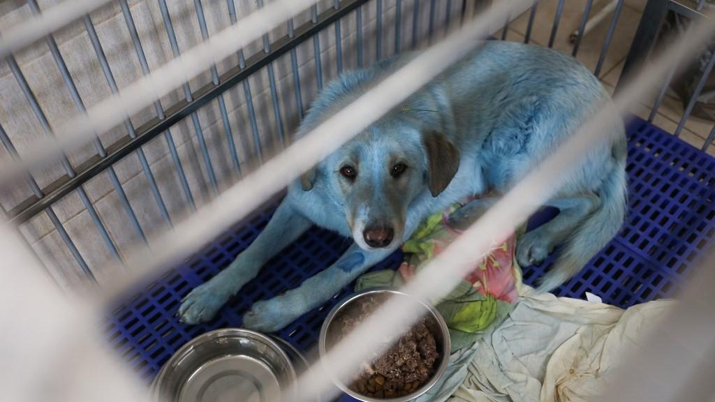 Nyizsnyij Novgorod egyik állatkórházába kerültek azok a kutyák, amikre kékre színezett bundával találtak. (Fotó: Anastasija Makarycheva/Sputnik/AFP)