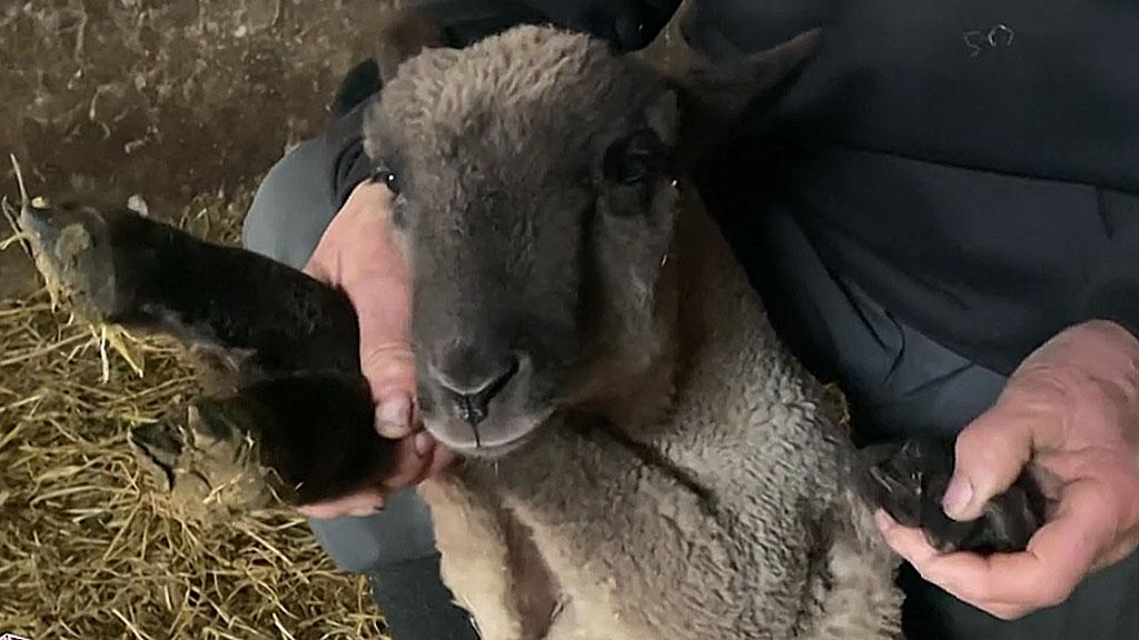 ötlábú bárány