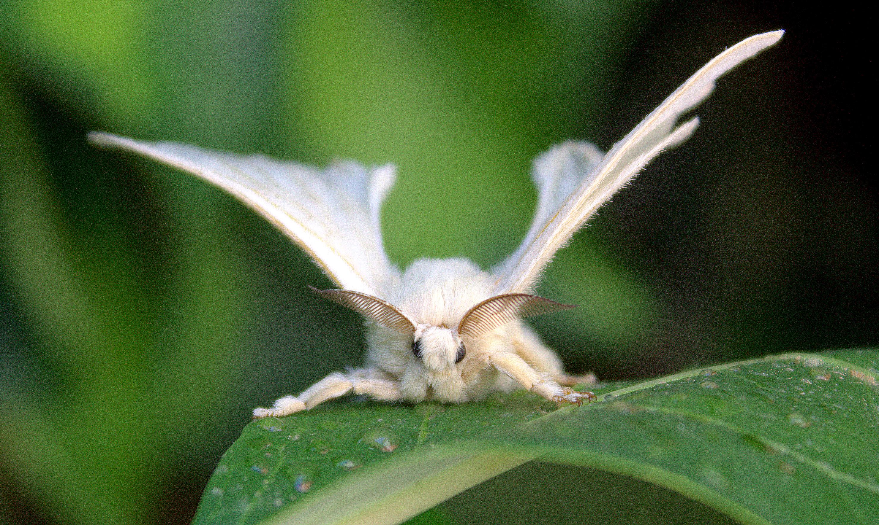 A Bombyx mori, vagyis a selyemlepke (fotó: Wikipedia)