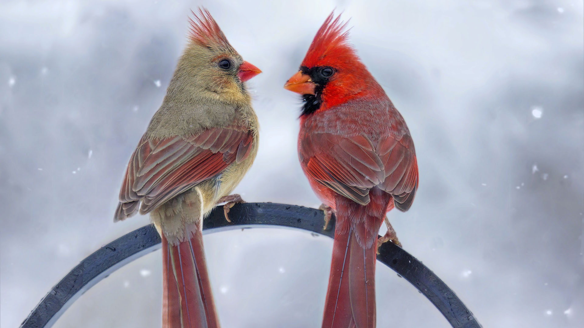 Félig tojó félig hím madarat fotóztak
